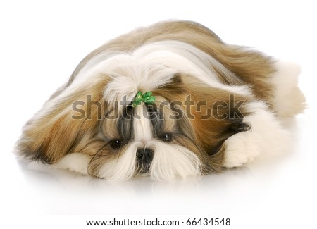 adorable shih tzu puppy with green bow laying down with reflection on white background - stock photo