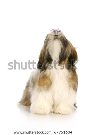 adorable shih tzu puppy with pink bow looking up with reflection on white background - stock photo