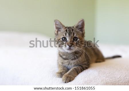 adorable shorthair gray tabby kitten relaxing on bed - stock photo