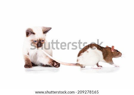 Adorable siamese kitten hunts for a rat tail - stock photo