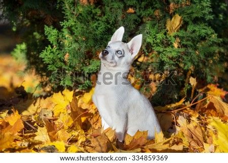 adorable siberian husky portrait outdoors in autumn - stock photo