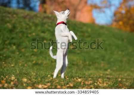 adorable siberian husky puppy jumping up - stock photo