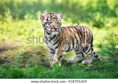 adorable siberian tiger cub standing outdoors - stock photo