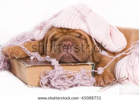adorable sleeping dogue de bordeaux puppy - stock photo
