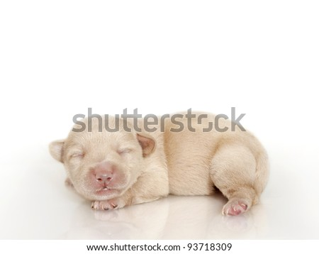 Adorable sleeping puppy, New born puppy - stock photo