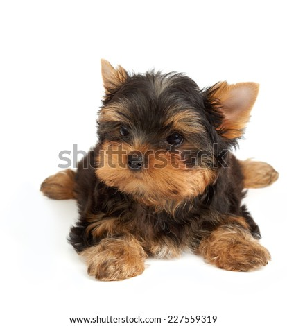 Adorable small dog isolated on white. Yorkshire Terrier