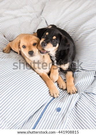 Adorable Small Terrier Mix Puppies Playing on Striped Bed - stock photo