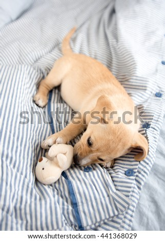 Adorable Small Terrier Mix Puppy Laying on Striped Bed Playing with Toy - stock photo