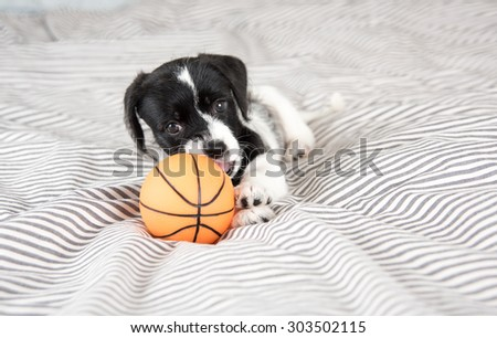 Adorable Small Terrier Mix Puppy Playing with Small Basketball  - stock photo