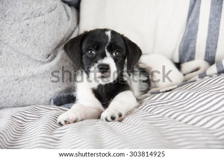Adorable Small Terrier Mix Puppy Relaxing on Striped Bed - stock photo