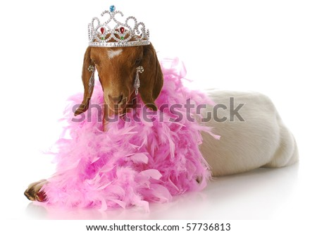 adorable south african boer goat doeling dressed up like a princess - stock photo