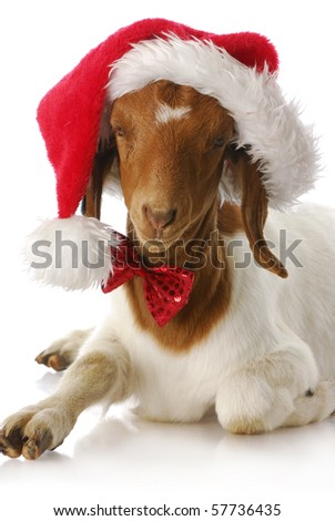 adorable south african boer goat wearing santa hat and bow tie - stock photo