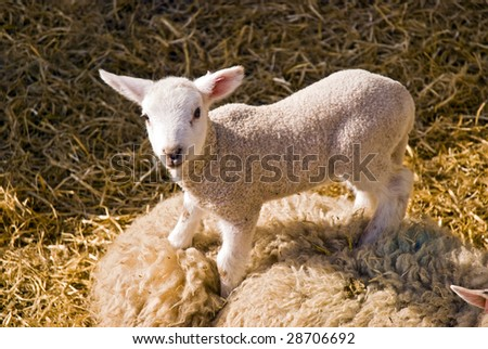 adorable spring lamb standing on its mother and surrounded by hay - stock photo