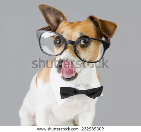 Adorable stylish clever dog with glasses with black frames and tie and shirt collar on the neck licking nose. Gray background  - stock photo