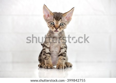 adorable tabby devon rex kitten sitting - stock photo
