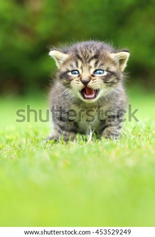 Adorable tabby kitty mewing - stock photo