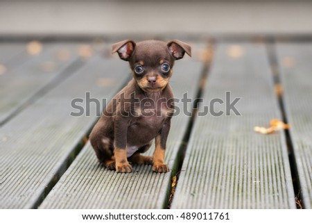 adorable teacup puppy posing outdoors
