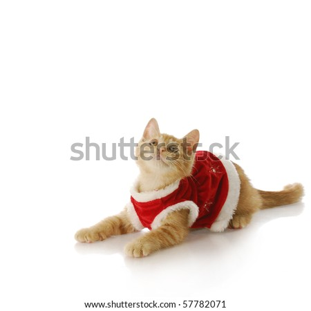 adorable ten week old kitten wearing christmas dress with reflection on white background - stock photo
