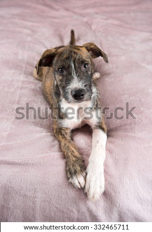 Adorable Terrier Mix Puppy Playing on Human Bed - stock photo