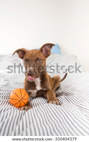 Adorable Terrier Mix Puppy Playing with Orange Basketball Toy - stock photo