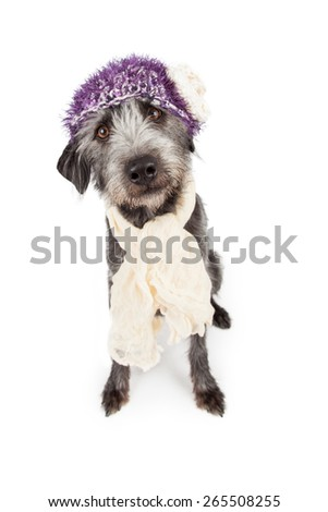 Adorable terrier mixed breed dog wearing a pretty purple hat and scarf - stock photo