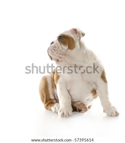 adorable three month old english bulldog puppy sitting with reflection on white background - stock photo