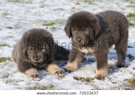Adorable Tibetan Mastiff puppies - stock photo