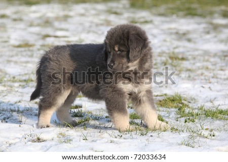 Adorable Tibetan Mastiff puppy - stock photo