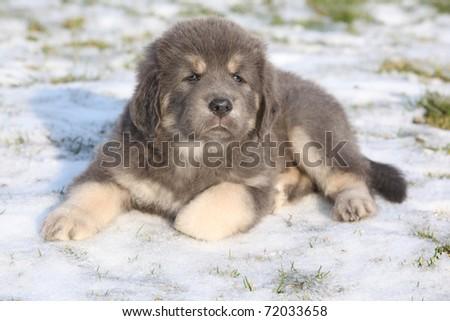 Adorable Tibetan Mastiff puppy - stock photo