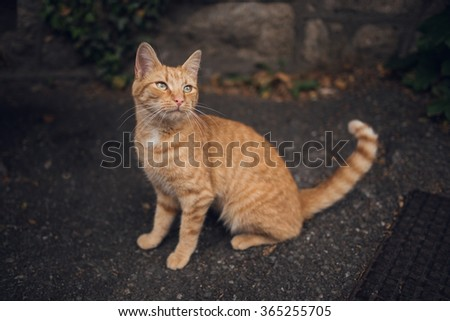 Adorable tiger like ginger striped young cat - stock photo