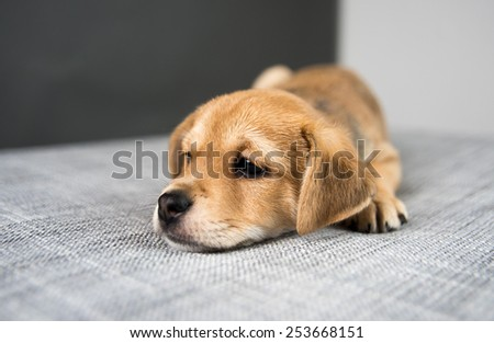 Adorable Tiny Cute Puppy on Gray Sofa  - stock photo