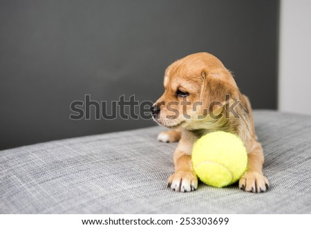 Adorable Tiny Cute Puppy on Gray Sofa  with Tennis Ball - stock photo