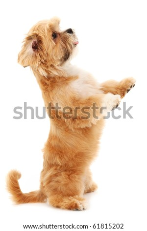 Adorable tiny mixed bread dog begging over white background.