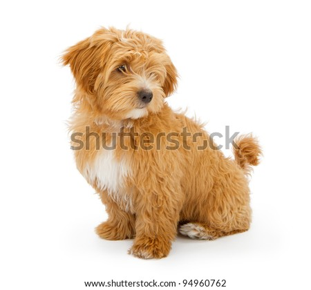 Adorable two month old mixed breed puppy looking off to the side. Isolated on white. - stock photo