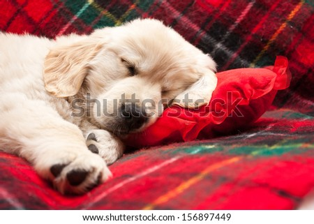 Adorable 10 week old golden retriever puppy asleep on a tartan blanket with his head on a heart shaped pillow. - stock photo