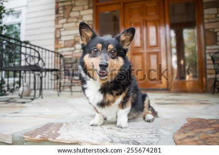 Adorable Welsh Corgi smiles on front porch at home - stock photo
