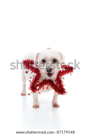 Adorable white dog with a red tinsel decorative star.  White background