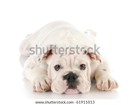 adorable white english bulldog puppy laying down with reflection on white background - stock photo