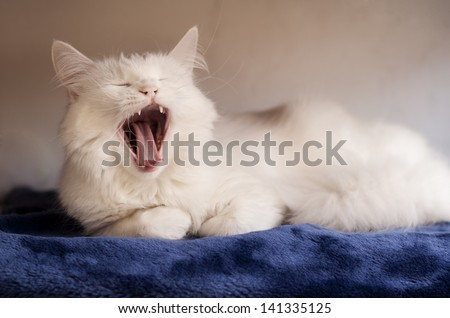 Adorable white Persian cat yawning - stock photo