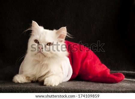 Adorable white Persian kitten inside Christmas stocking - stock photo