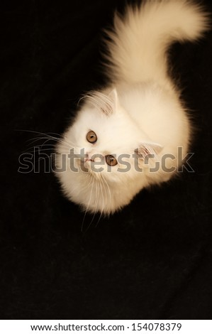 Adorable white Persian kitten isolated - stock photo