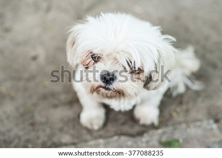 Adorable white small bichon havanese puppy looking up while sitting on the street ground - stock photo