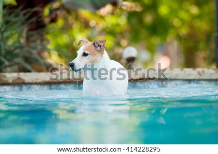 Adorable white terrier dog in a beautiful swimming pool with drool coming from mouth. - stock photo