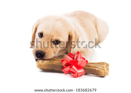 Adorable yellow labrador puppy chewing his big birthday bone. - stock photo