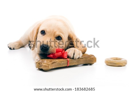 Adorable yellow labrador puppy enjoys chewing his birthday presents. - stock photo