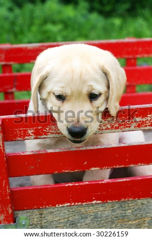 adorable yellow labrador puppy in red cart
