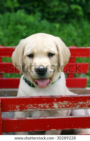 adorable yellow labrador puppy sitting in red cart - stock photo