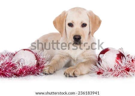 adorable yellow labrador retriever puppy - stock photo