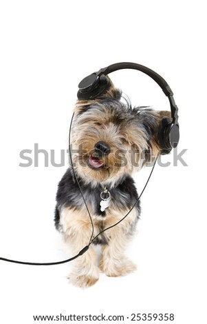 Adorable yorkie listening to music on headphones - stock photo