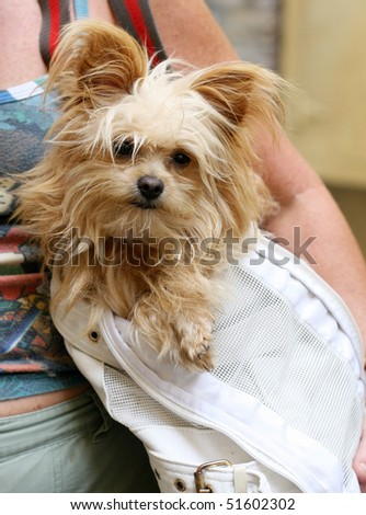 adorable yorkshire terrier inside shoulder bag carrier
